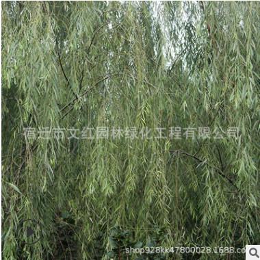低价出售垂柳小苗道路绿化占地柳树 成活率高 速生金丝垂柳树苗