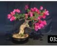 花满枝头的三角梅盆景小赏 (302播放)