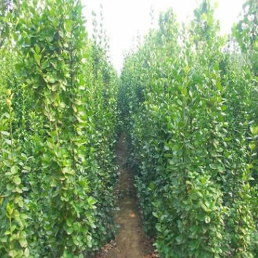 供应北海道黄杨 2米北海道黄杨树苗价格 优质北海道黄杨