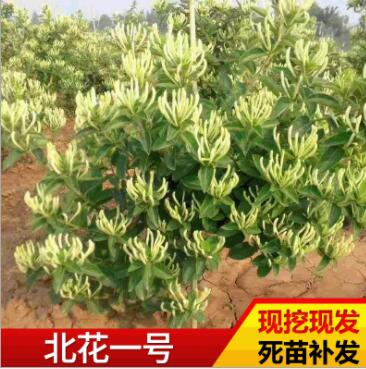 基地种植金银花苗 多品种四季金银花苗现挖现发北花一号金银花苗