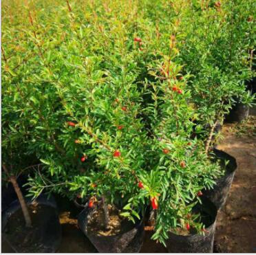 现货基地批发红石榴盆栽 庭院花卉盆景果实饱满园林石榴盆景