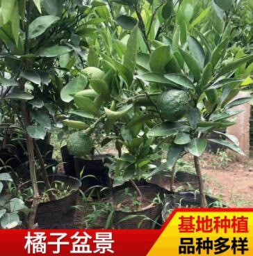 山东厂家基地供应橘子盆景 各种果树观赏盆景园林植物盆景批发