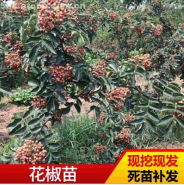 基地种植大红袍花椒苗 现挖现发高成活花椒苗大青稞园林苗木