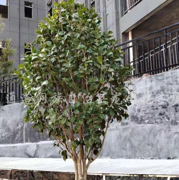 山茶花盆景造型