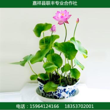 水生植物 盆栽荷花 园林植物 基地直销价格便宜观赏型荷花
