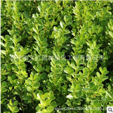 小叶黄杨苗绿化苗木色块绿篱瓜子黄杨四季常青行道点缀小叶黄杨苗