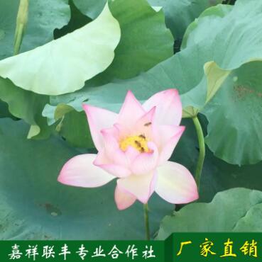 荷花根批发 荷花藕观赏红花莲藕销售与种植