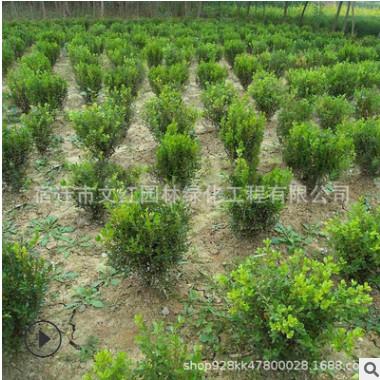 北海道黄杨苗绿化色块绿篱行道点缀庭院观赏量大从优北海道黄杨苗