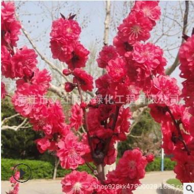 紫叶碧桃树苗绿化花木庭院观赏气味芳香室内盆栽红叶碧桃树