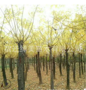 批发黄金槐 金枝槐 金枝国槐 绿化工程苗木 量大从优 黄金槐树苗