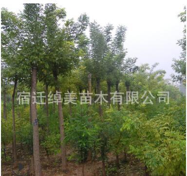 白蜡树苗工程绿化苗木直销色块绿篱庭院种植四季常青量大从优白蜡