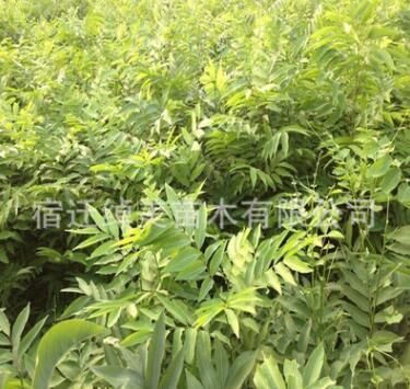 无患子树苗园林绿化苗木色块绿篱行道点缀四季常青量大从优无患子