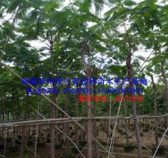 绿化苗木袋苗 凤凰木 红花楹胸径5-10 福建漳州基地倾销
