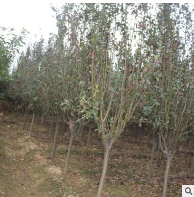 基地供应绿化树西府海棠 各种规格西府海棠树