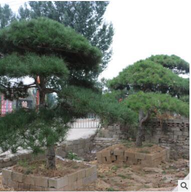 景松造型美 低价出售景松 山东绿化专用树造型景松