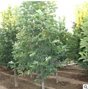 基地出售白玉兰 批发嫁接红玉兰树 大小规格工程用大规格白玉兰树