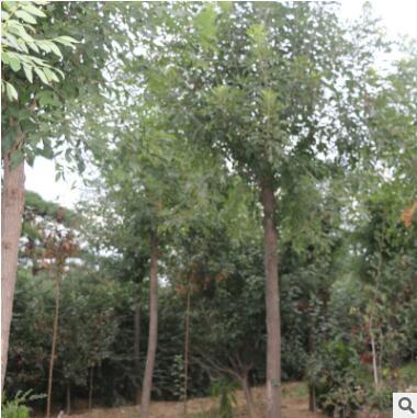 工程绿化白腊树 规格齐全优质白蜡树