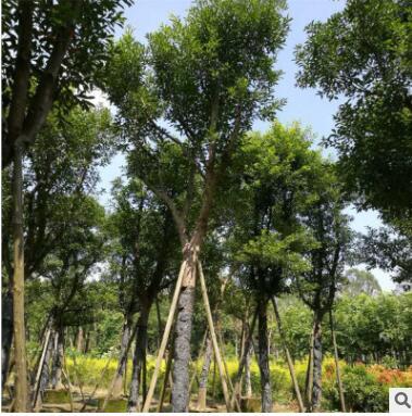 批量供应优良品种天竺桂 质优价廉易管理成活率高天竺桂