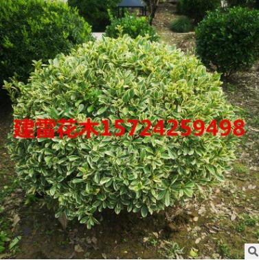 绿灌木金边黄杨球绿化工程苗木金边黄杨规格齐全品质好价格