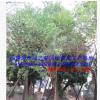 基地清场胸径10-15公分鸡冠刺桐地苗袋苗 福建漳州假植苗冠幅优美