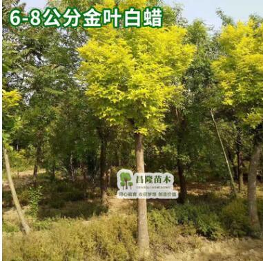 金叶白蜡行道树金叶白蜡小苗南北方种植绿化苗木成活率高