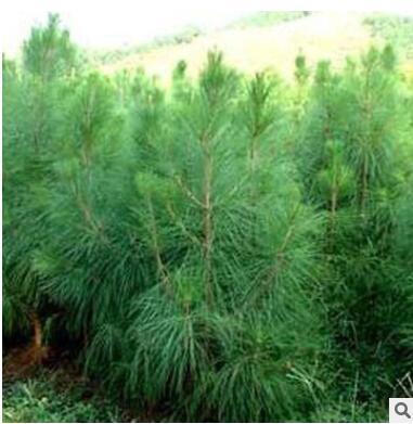 湿地松树苗 绿化工程苗木规格齐全