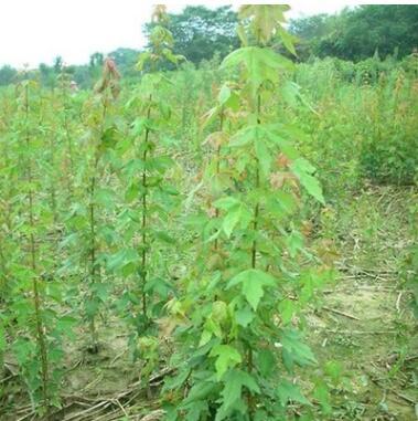 苗木供应绿化苗木三角枫 绿化工程三角槭小苗