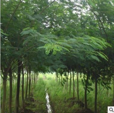 绿化工程苗木基地大量现货 优质合欢树 金合欢