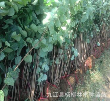 紫荆小苗 紫荆小苗价格 紫荆小苗批发 各种庭院植物丛生小苗批发