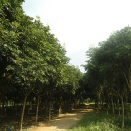 基地直销无患子树苗 园林绿化苗木 行道树 规格齐全 价格优惠