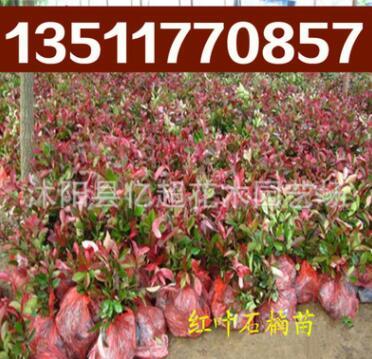 红叶石楠苗 红叶石楠价格 纯正红罗宾 石楠 石楠基地 红叶石楠球