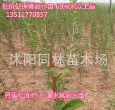 低价批发红花紫薇小树苗