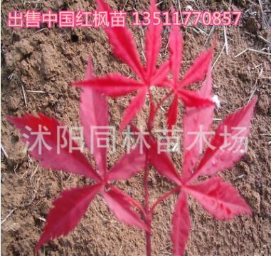 基地直销 红枫苗 日本红枫苗 中国红枫苗 中国红 三季红