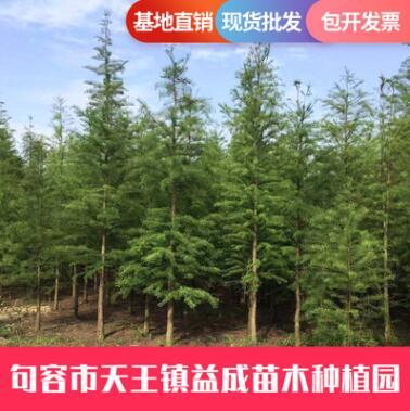 基地直供池杉 池杉 园林道路绿化工程