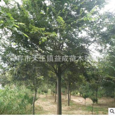 句容种植基地批发直供多年生绿化工程榉树