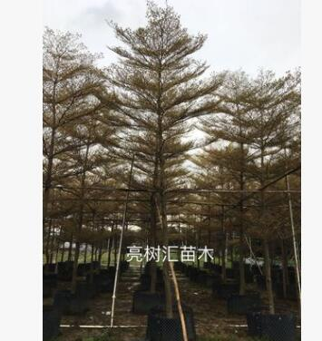 锦叶榄仁基地首发全冠精品房地产市政工地专用苗