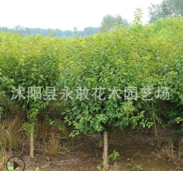 榆叶梅树苗批发庭院精品盆景榆叶梅 园林工程绿化花木梅花苗
