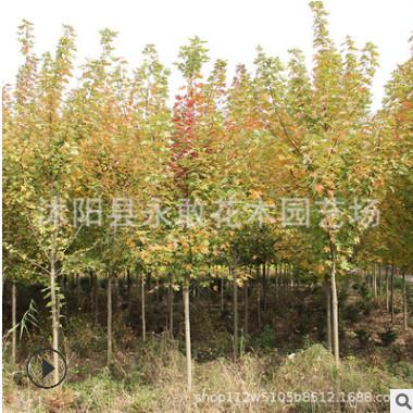美国红枫树苗批发 工程绿化苗木 色块苗木 精品美国红枫苗