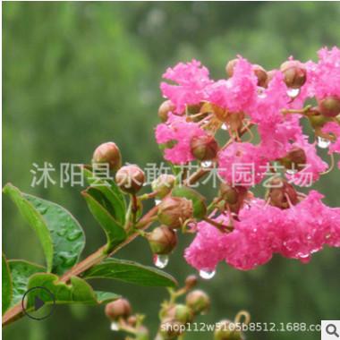 紫薇树苗批发 园林绿化苗木 庭院植物 行道风景树 红花紫薇树苗