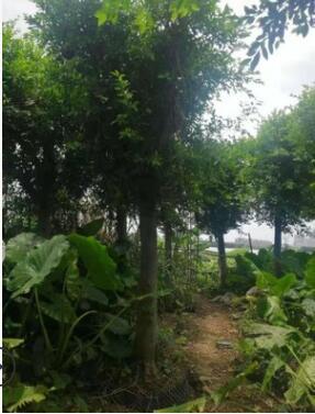 厂家批发细叶榕容器苗 绿植行道树小叶榕 榕树袋苗基地直销