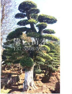 湖南基地大量供应工程绿化造型榆树庭院别墅园林绿化现货