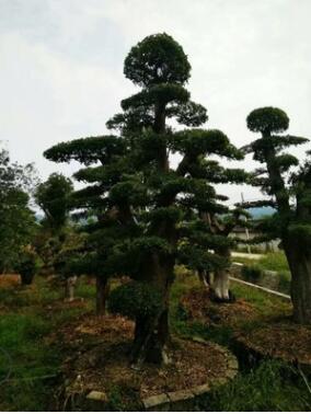 挚云苗木专业种植湖南造型石楠桩产地批发园林别墅景观树木