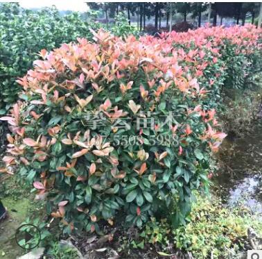 绿化工程专用红叶石楠球园林景观树规格齐全