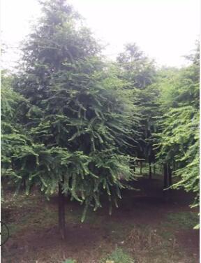 湖南基地大量低价供应绿化树色块小毛球红豆杉