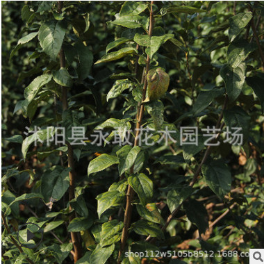 西府海棠树苗批发行道风景树工程苗木 精品盆景垂丝海棠苗