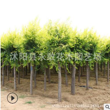 金叶榆树苗批发工程绿化苗木行道风景造型榆树 嫁接中华金叶榆
