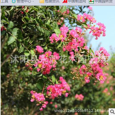 红花紫薇树苗批发市政园林绿化苗木 高杆紫薇树百日红 紫薇绿化树