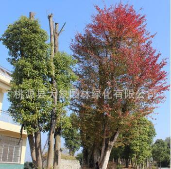 园林绿化工程苗木 优质三角枫 移栽 野生苗木