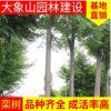 栾树 苗圃基地 园林工程造型绿化栾树