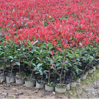 基地供应红叶石楠树苗 工程园林绿化小苗批发 高杆红叶石楠苗